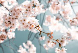 Arbre fruitier avec de nombreuses fleur car il a ét taillé convenablement