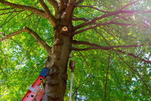 Image d'un arbre qui a un problème de structure et qui doit être élagué