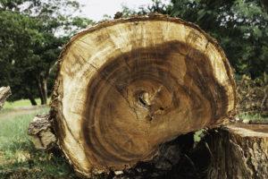 arbre malade abattu